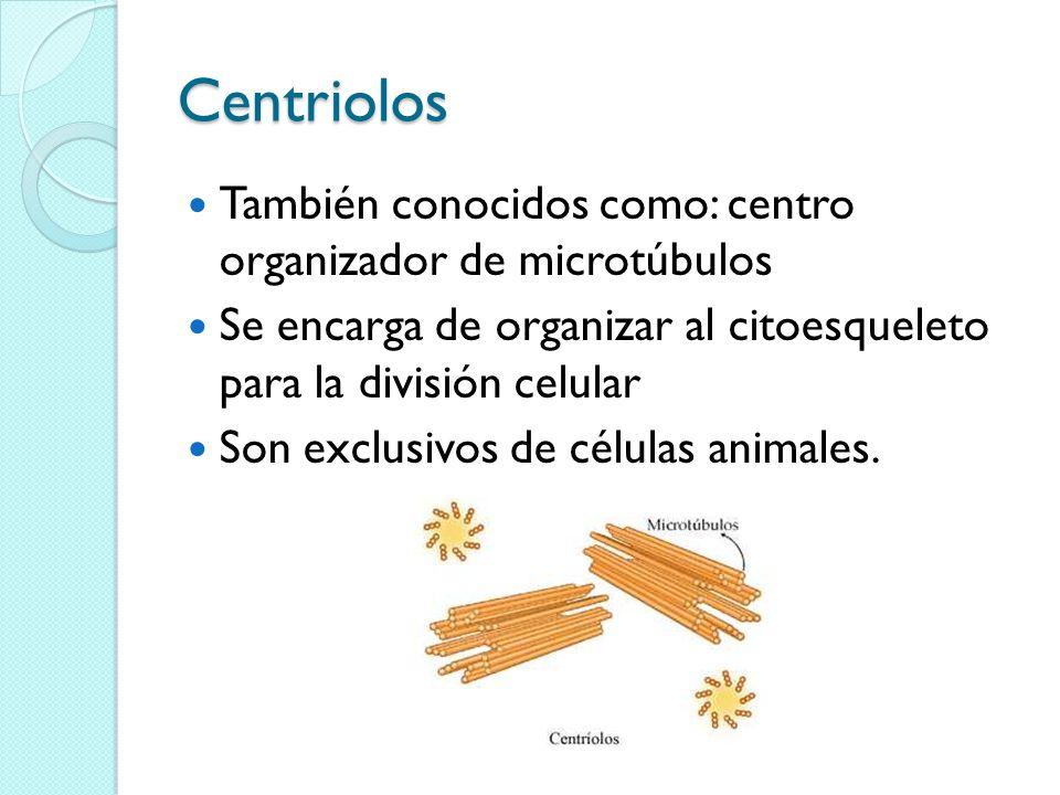 Centriolos También conocidos como: centro organizador de microtúbulos