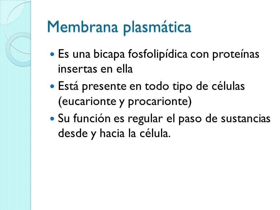 Membrana plasmática Es una bicapa fosfolipídica con proteínas insertas en ella. Está presente en todo tipo de células (eucarionte y procarionte)