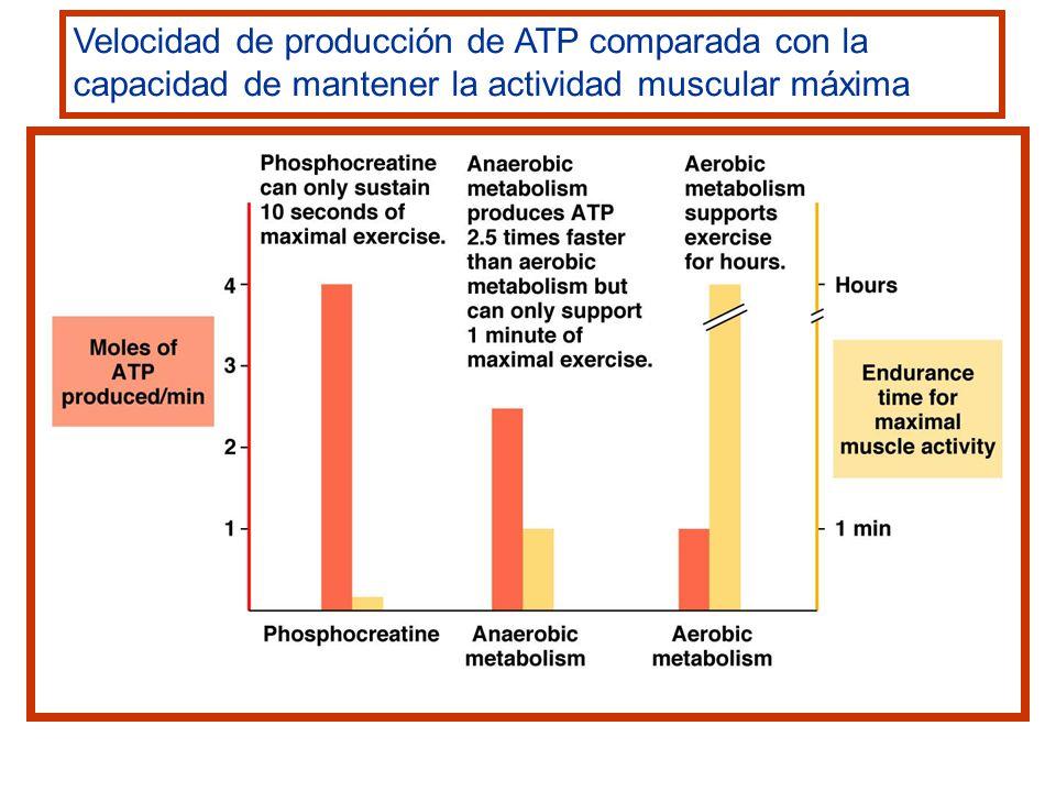 Velocidad de producción de ATP comparada con la capacidad de mantener la actividad muscular máxima
