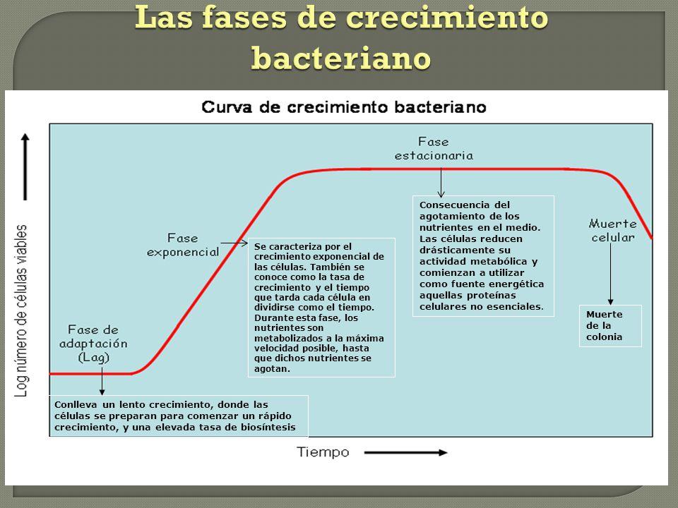 Las fases de crecimiento bacteriano