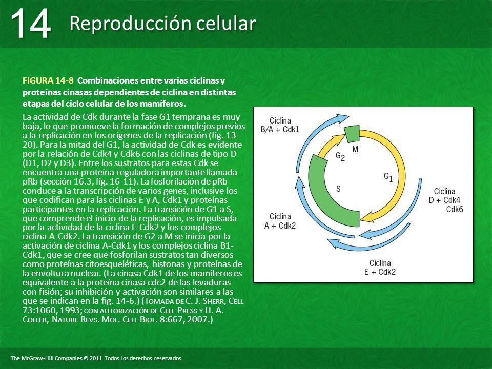 FIGURA 14-8 Combinaciones entre varias ciclinas y proteínas cinasas dependientes de ciclina en distintas etapas del ciclo celular de los mamíferos.