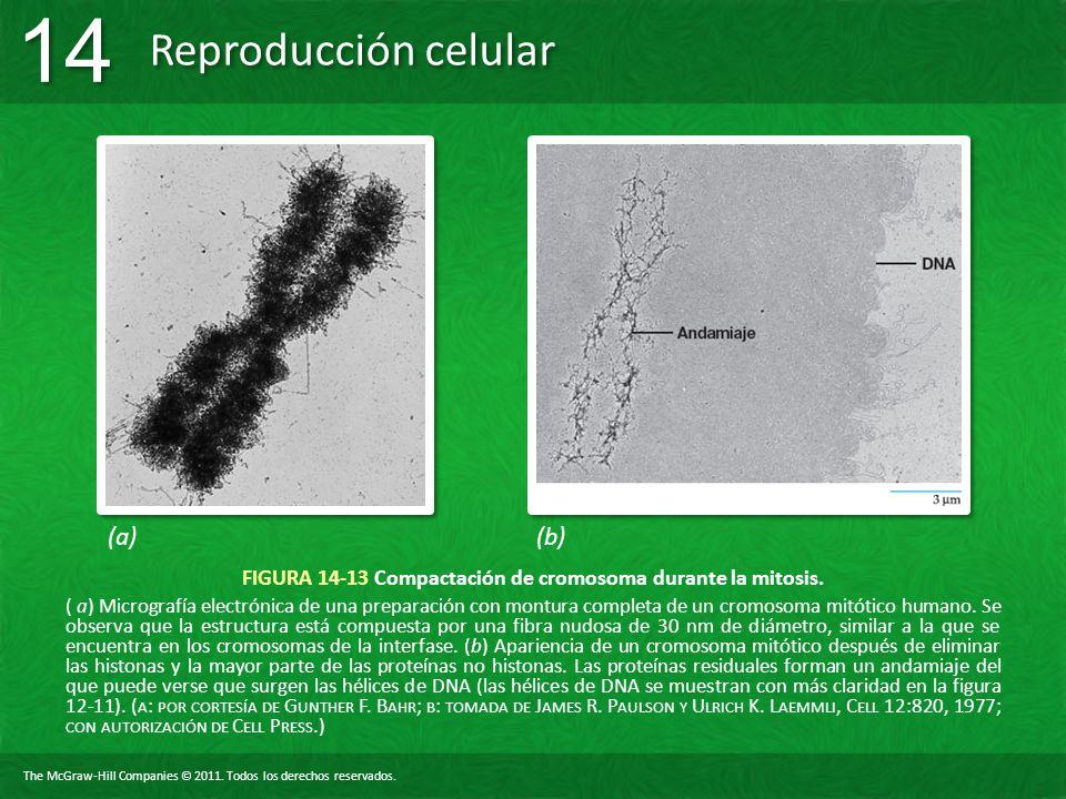 FIGURA 14-13 Compactación de cromosoma durante la mitosis.
