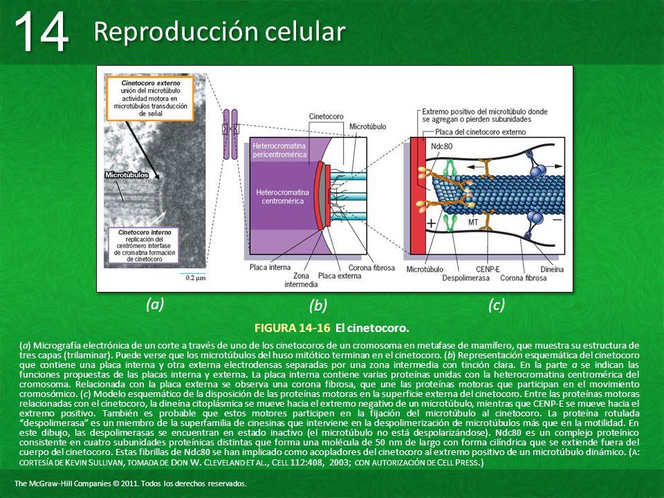 (a) (b) (c) FIGURA 14-16 El cinetocoro.
