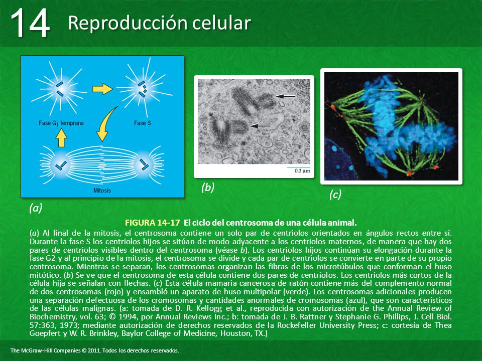 FIGURA 14-17 El ciclo del centrosoma de una célula animal.