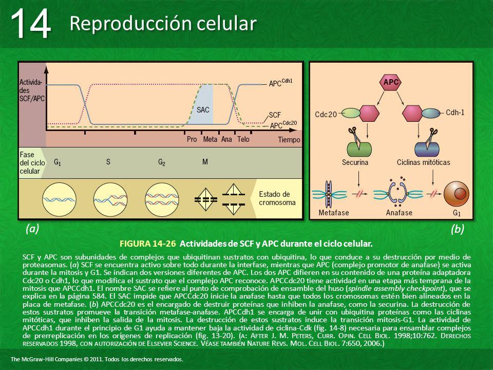 FIGURA 14-26 Actividades de SCF y APC durante el ciclo celular.
