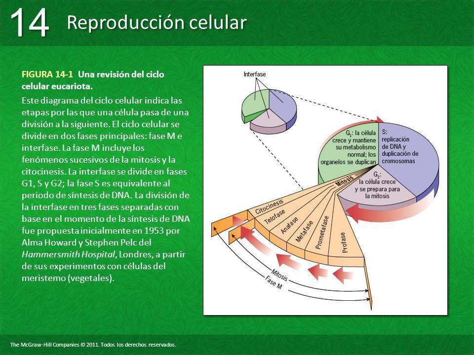 FIGURA 14-1 Una revisión del ciclo celular eucariota.