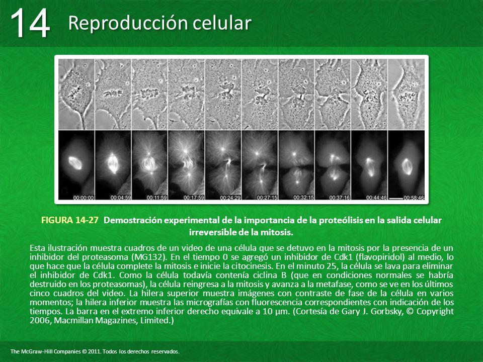 FIGURA 14-27 Demostración experimental de la importancia de la proteólisis en la salida celular irreversible de la mitosis.