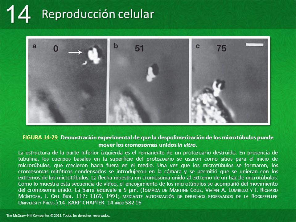 FIGURA 14-29 Demostración experimental de que la despolimerización de los microtúbulos puede mover los cromosomas unidos in vitro.