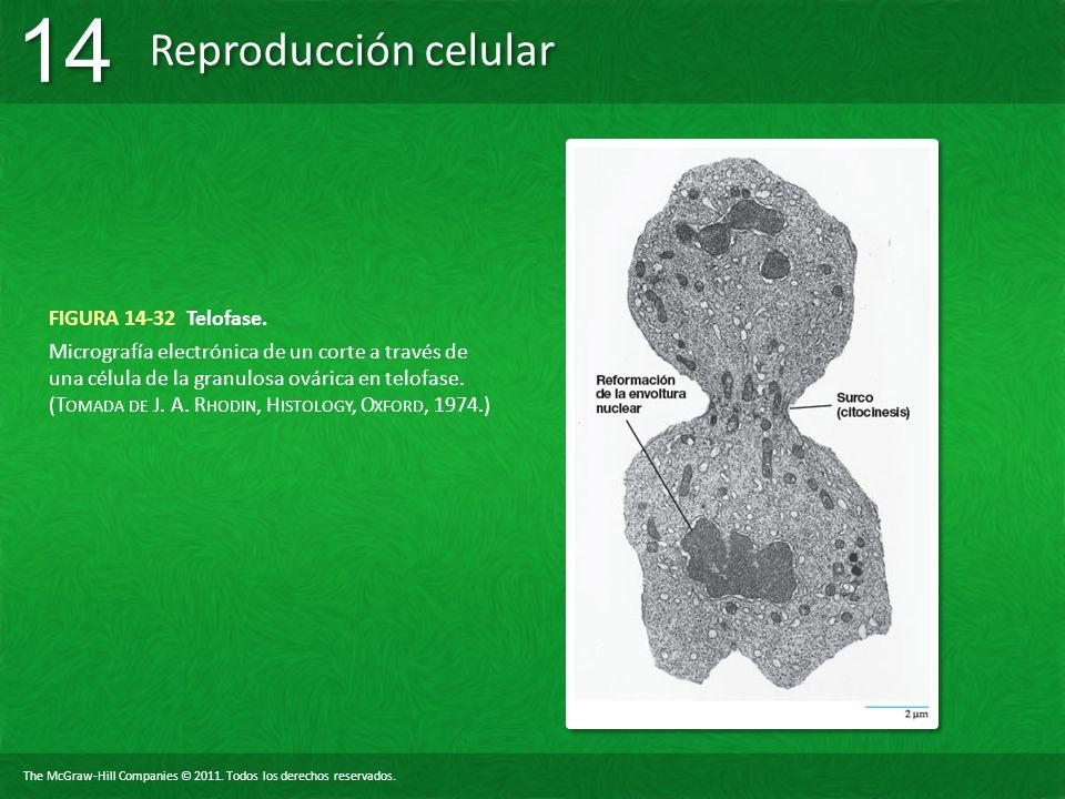 FIGURA 14-32 Telofase.