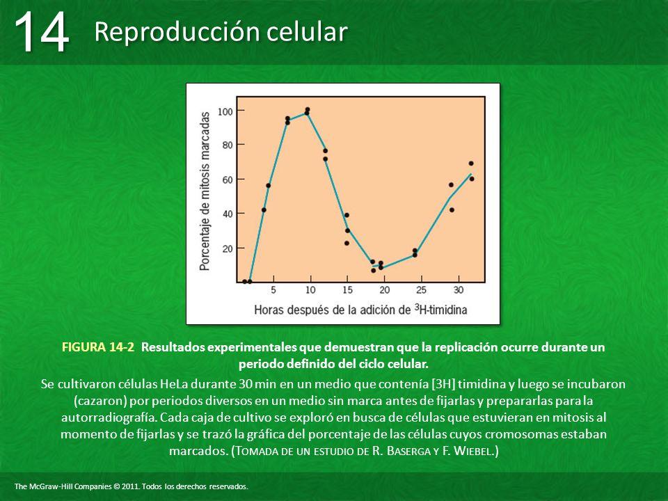 FIGURA 14-2 Resultados experimentales que demuestran que la replicación ocurre durante un periodo definido del ciclo celular.