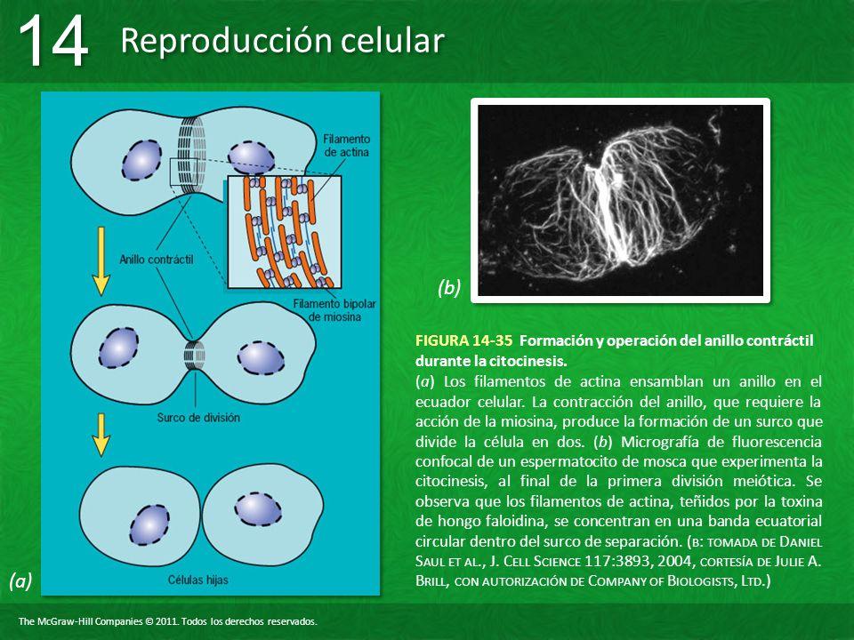 (b) FIGURA 14-35 Formación y operación del anillo contráctil durante la citocinesis.
