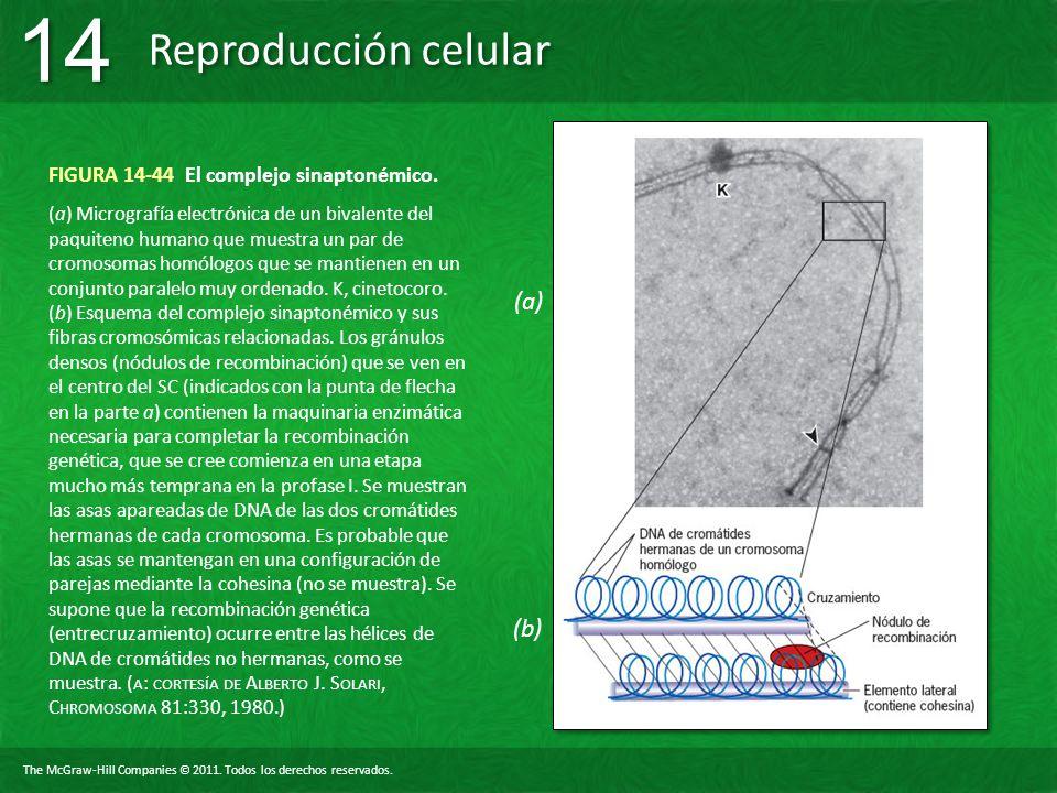 FIGURA 14-44 El complejo sinaptonémico.