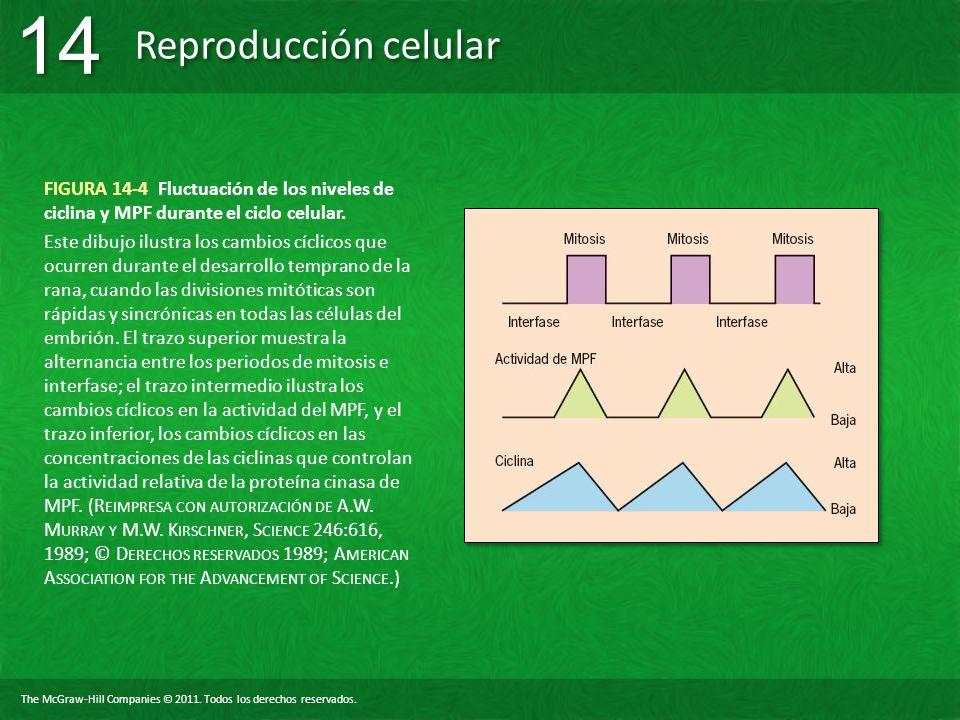 FIGURA 14-4 Fluctuación de los niveles de ciclina y MPF durante el ciclo celular.