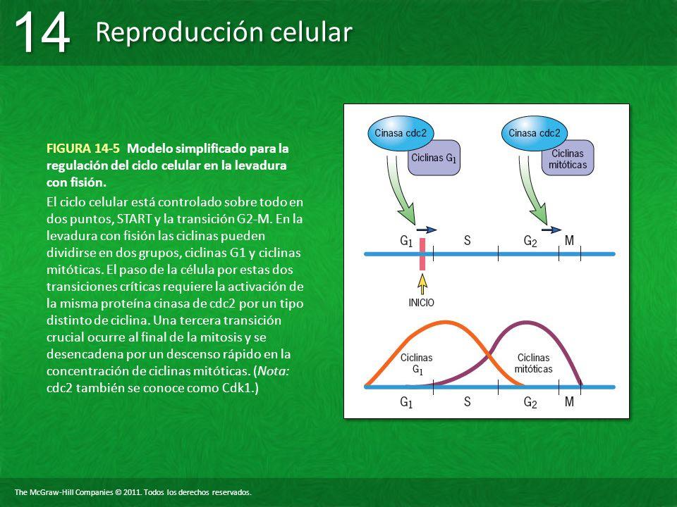 FIGURA 14-5 Modelo simplificado para la regulación del ciclo celular en la levadura con fisión.