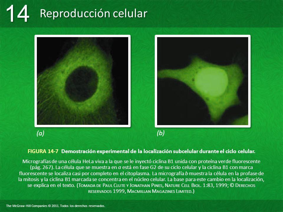 (a) (b) FIGURA 14-7 Demostración experimental de la localización subcelular durante el ciclo celular.