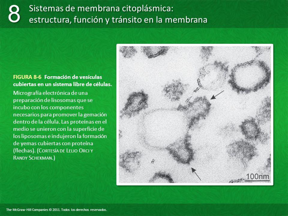 FIGURA 8-6 Formación de vesículas cubiertas en un sistema libre de células.