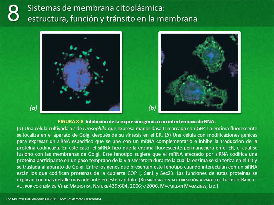 FIGURA 8-8 Inhibición de la expresión génica con interferencia de RNA.