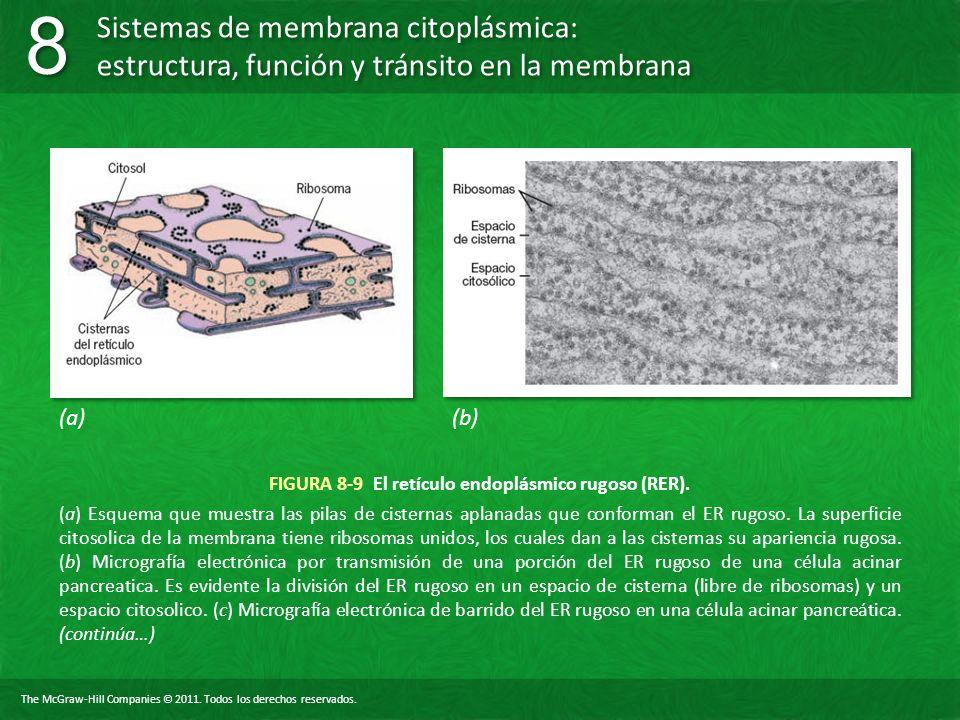 FIGURA 8-9 El retículo endoplásmico rugoso (RER).