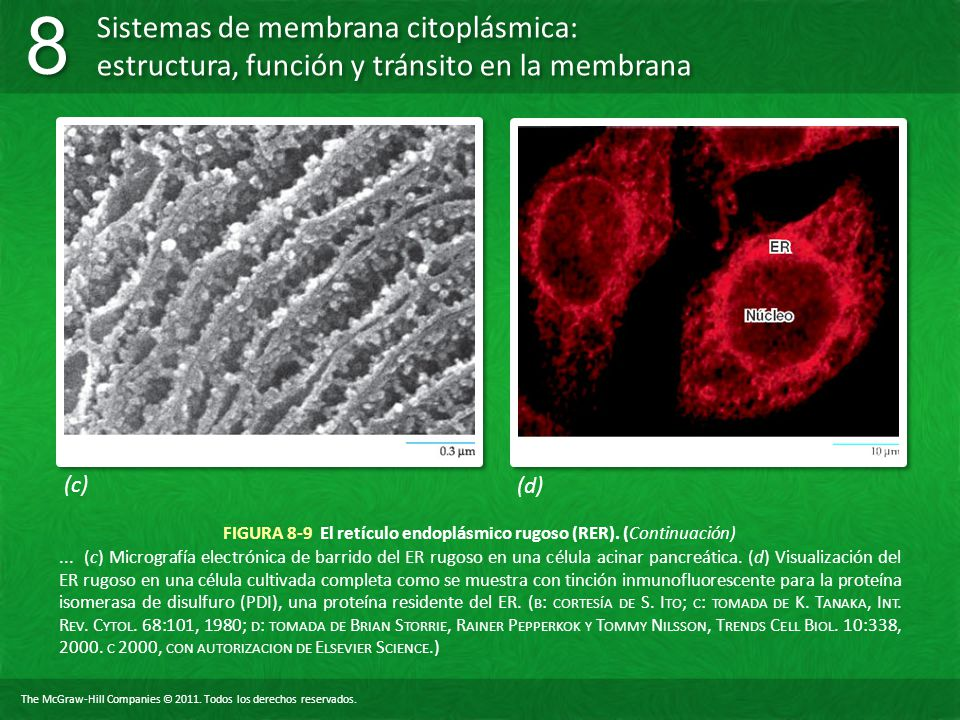 FIGURA 8-9 El retículo endoplásmico rugoso (RER). (Continuación)