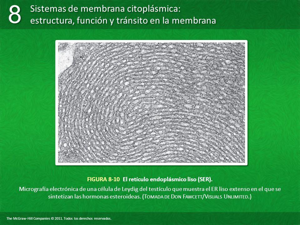 FIGURA 8-10 El retículo endoplásmico liso (SER).