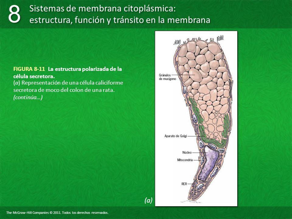FIGURA 8-11 La estructura polarizada de la célula secretora.