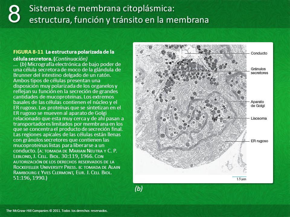 FIGURA 8-11 La estructura polarizada de la célula secretora