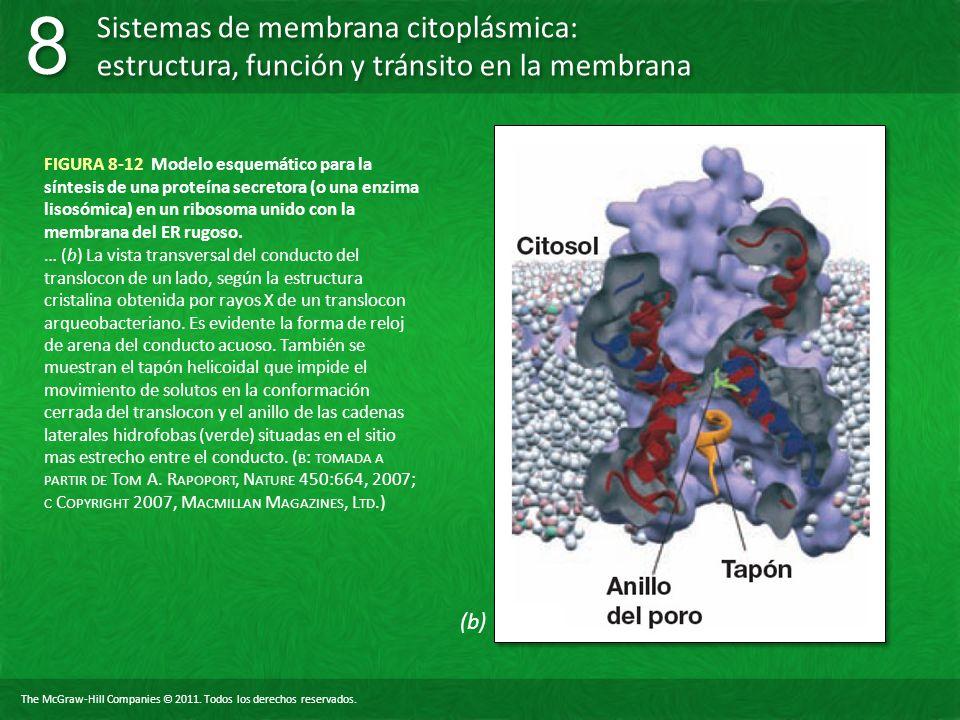 FIGURA 8-12 Modelo esquemático para la síntesis de una proteína secretora (o una enzima lisosómica) en un ribosoma unido con la membrana del ER rugoso.