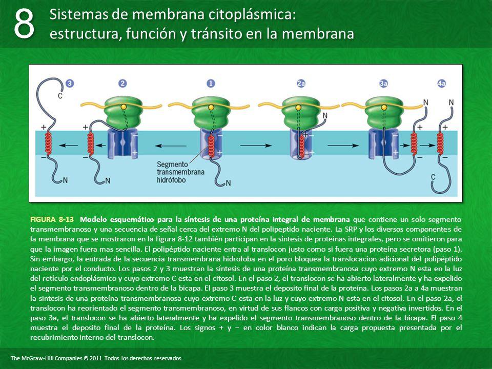FIGURA 8-13 Modelo esquemático para la síntesis de una proteína integral de membrana