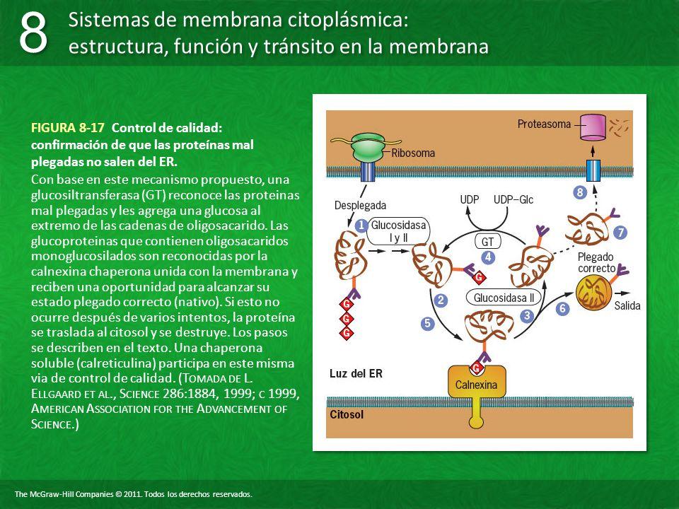 FIGURA 8-17 Control de calidad: confirmación de que las proteínas mal plegadas no salen del ER.