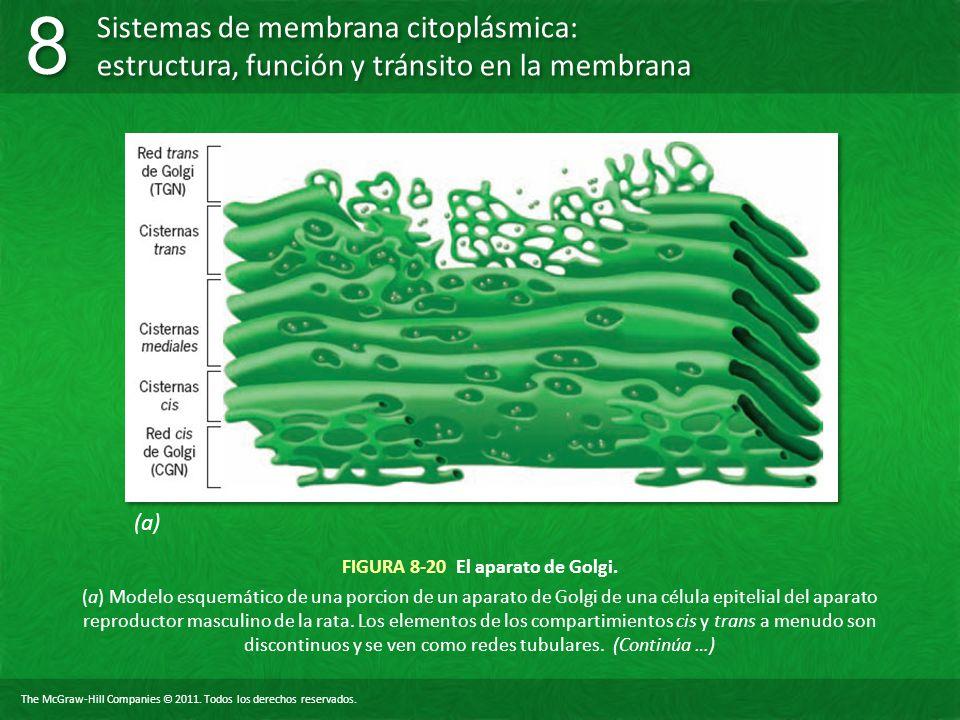 FIGURA 8-20 El aparato de Golgi.