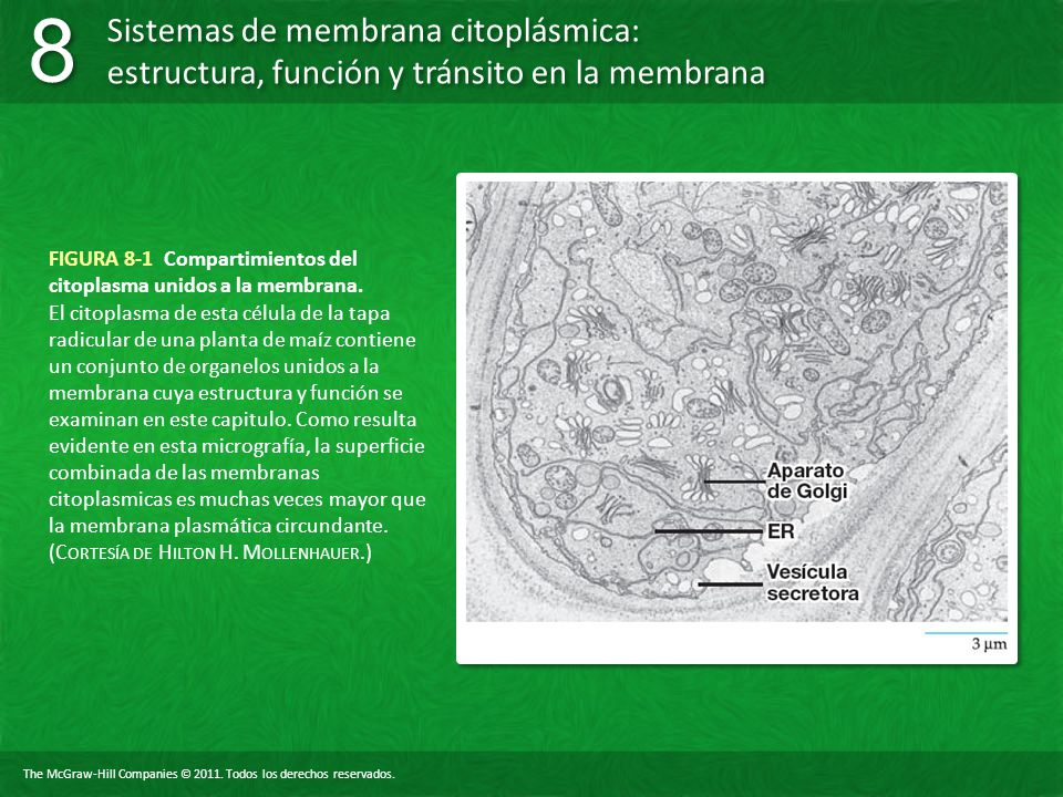 FIGURA 8-1 Compartimientos del citoplasma unidos a la membrana.
