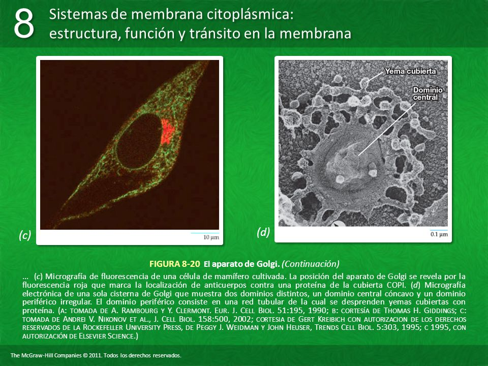 FIGURA 8-20 El aparato de Golgi. (Continuación)