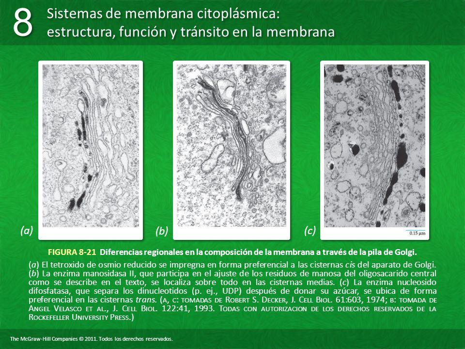 (a) (b) (c) FIGURA 8-21 Diferencias regionales en la composición de la membrana a través de la pila de Golgi.