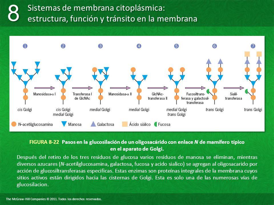 FIGURA 8-22 Pasos en la glucosilación de un oligosacárido con enlace N de mamífero típico en el aparato de Golgi.