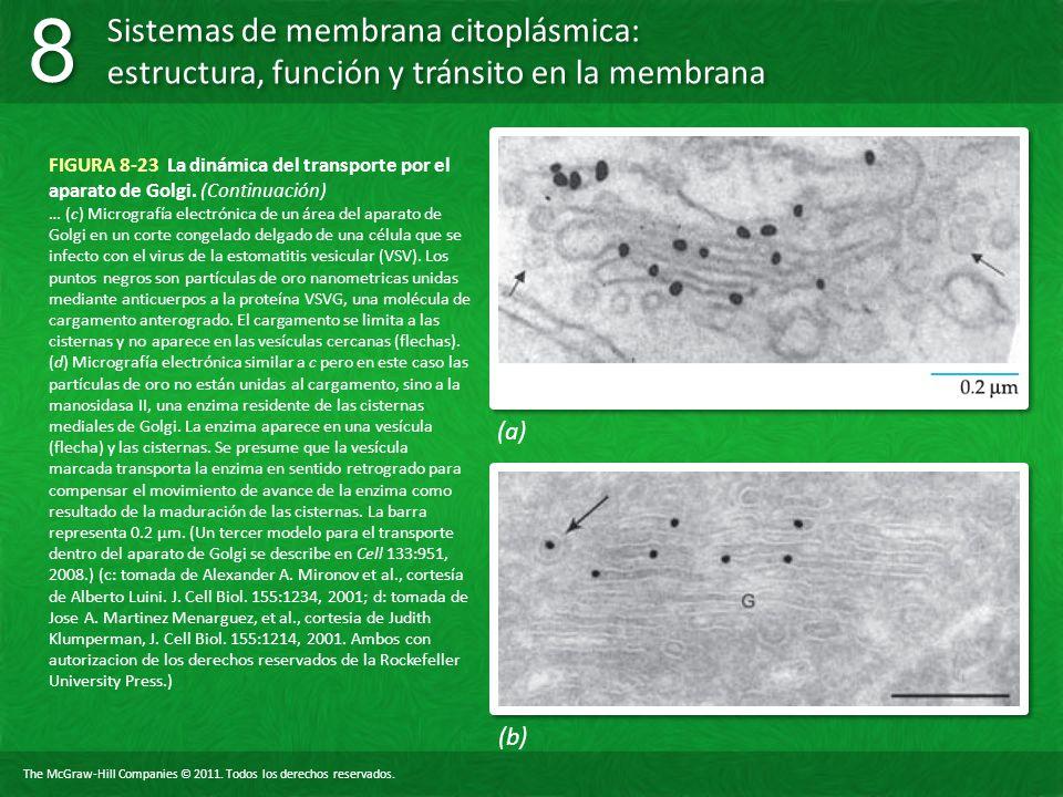 FIGURA 8-23 La dinámica del transporte por el aparato de Golgi