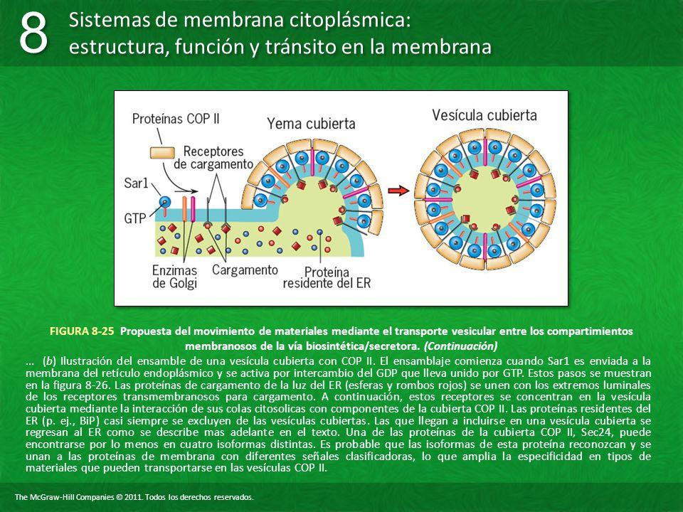 FIGURA 8-25 Propuesta del movimiento de materiales mediante el transporte vesicular entre los compartimientos membranosos de la vía biosintética/secretora. (Continuación)