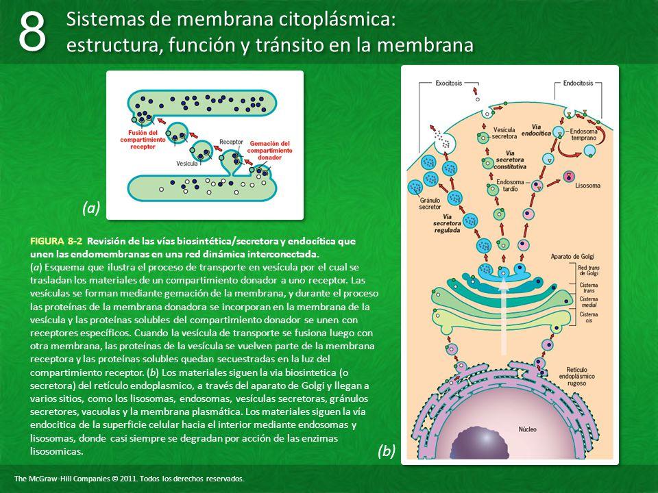 (a) FIGURA 8-2 Revisión de las vías biosintética/secretora y endocítica que unen las endomembranas en una red dinámica interconectada.