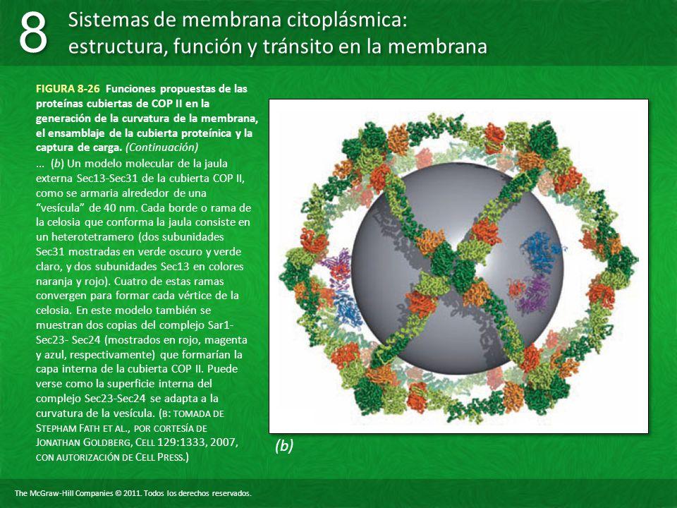 FIGURA 8-26 Funciones propuestas de las proteínas cubiertas de COP II en la generación de la curvatura de la membrana, el ensamblaje de la cubierta proteínica y la captura de carga. (Continuación)