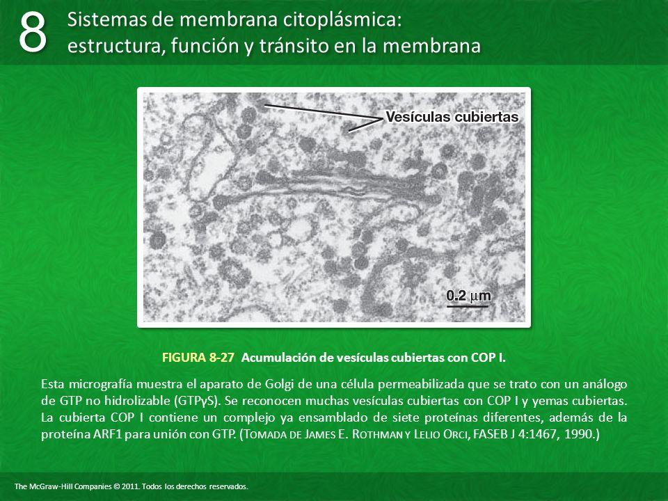 FIGURA 8-27 Acumulación de vesículas cubiertas con COP I.