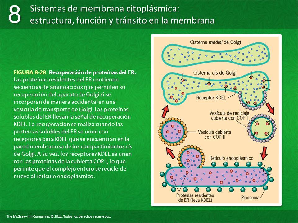 FIGURA 8-28 Recuperación de proteínas del ER.