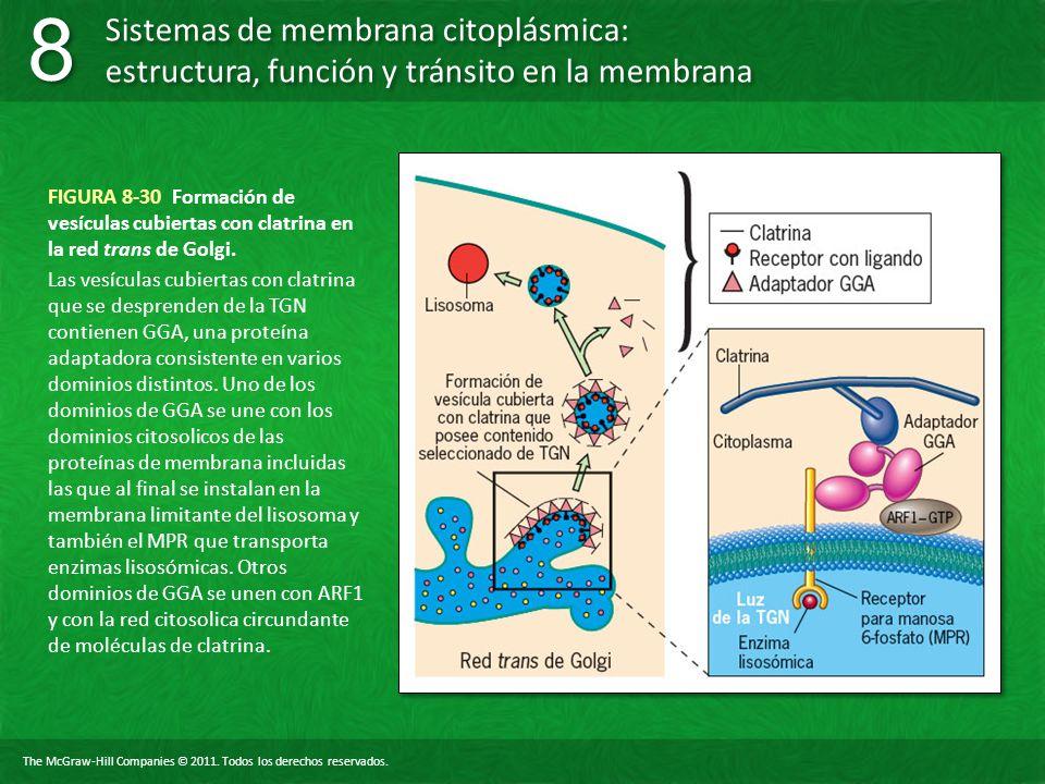 FIGURA 8-30 Formación de vesículas cubiertas con clatrina en la red trans de Golgi.