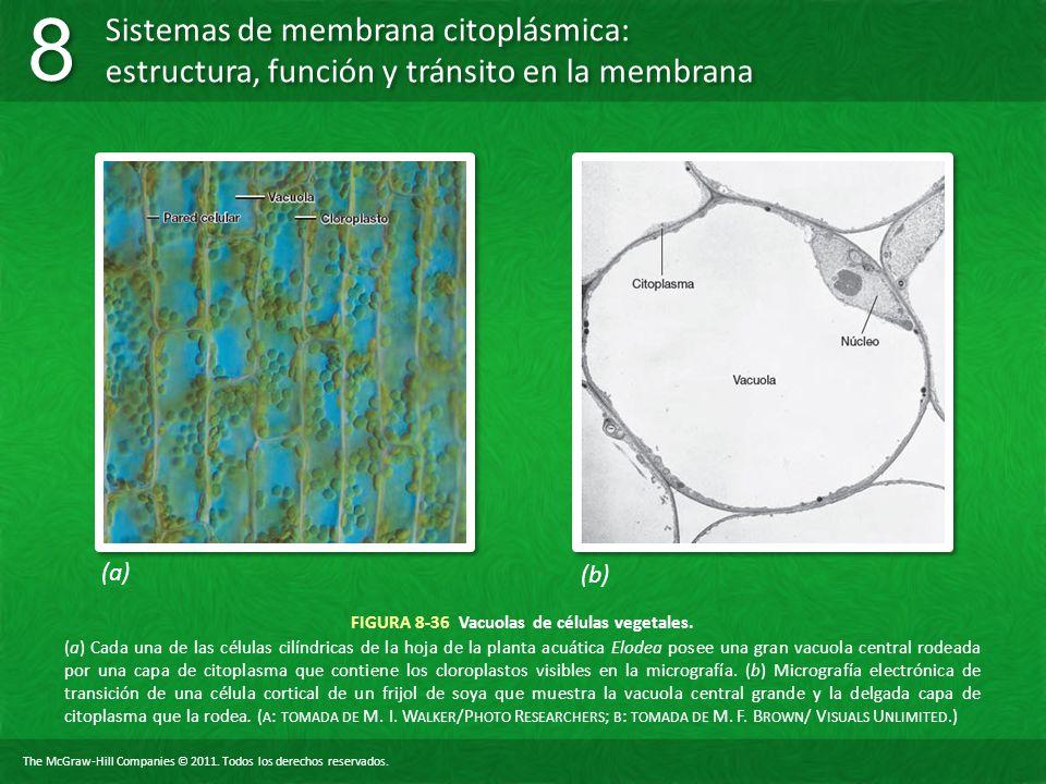 FIGURA 8-36 Vacuolas de células vegetales.