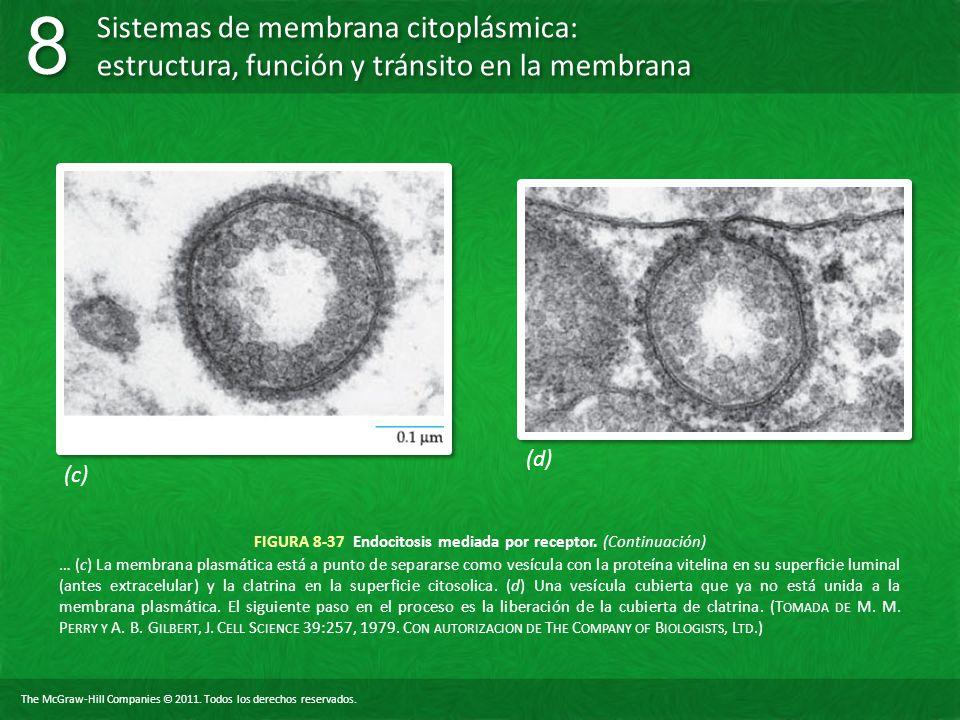 FIGURA 8-37 Endocitosis mediada por receptor. (Continuación)