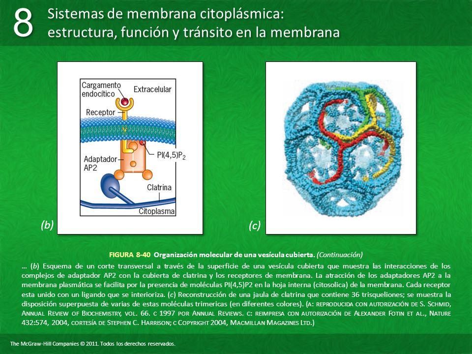 (b) (c) FIGURA 8-40 Organización molecular de una vesícula cubierta. (Continuación)