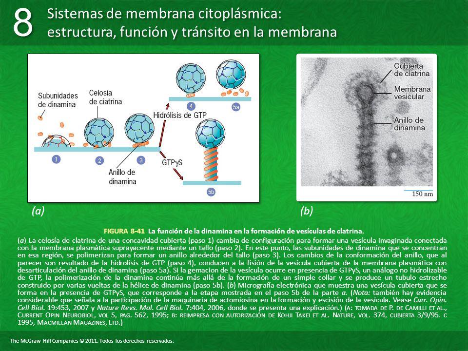 (a) (b) FIGURA 8-41 La función de la dinamina en la formación de vesículas de clatrina.
