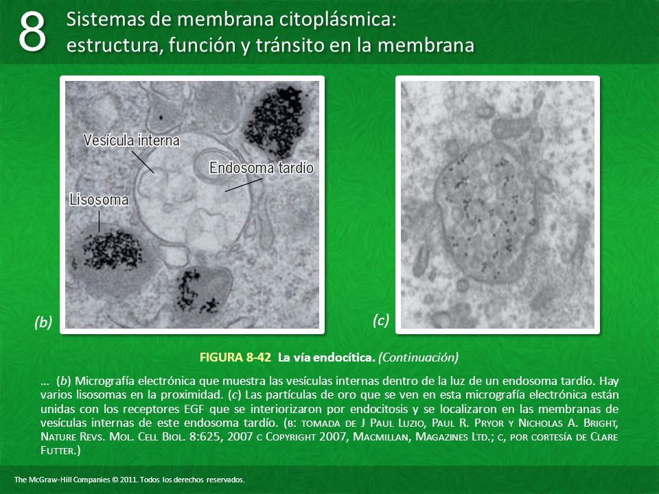 FIGURA 8-42 La vía endocítica. (Continuación)