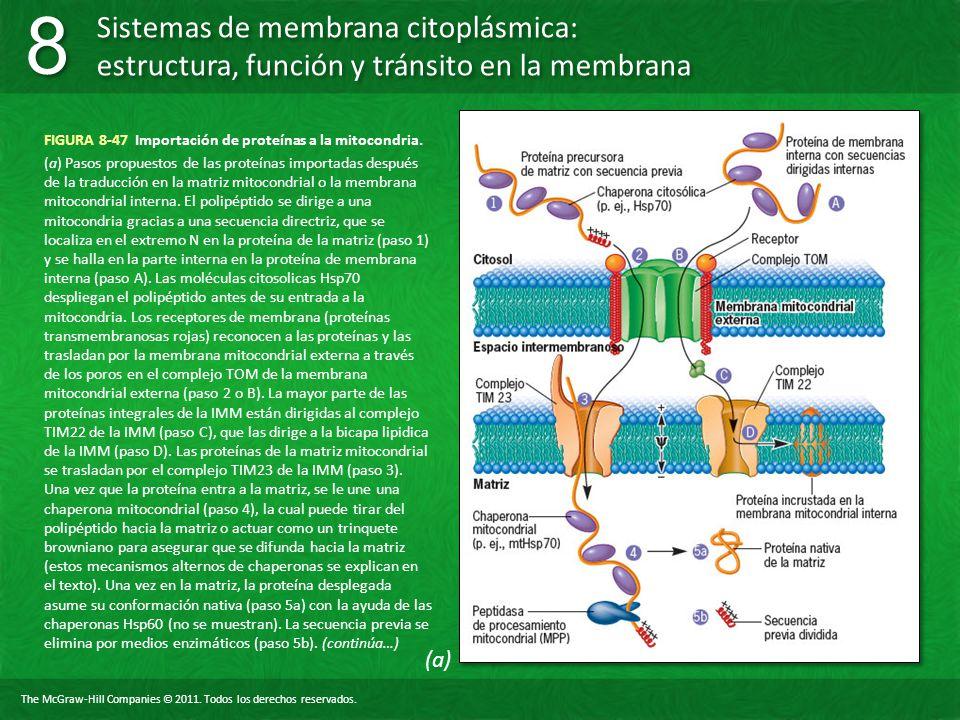 FIGURA 8-47 Importación de proteínas a la mitocondria.