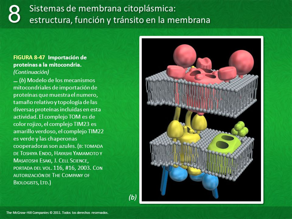 FIGURA 8-47 Importación de proteínas a la mitocondria. (Continuación)