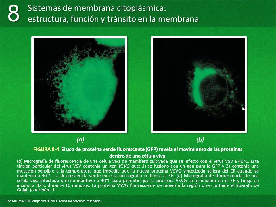 (a) (b) FIGURA 8-4 El uso de proteína verde fluorescente (GFP) revela el movimiento de las proteínas dentro de una célula viva.