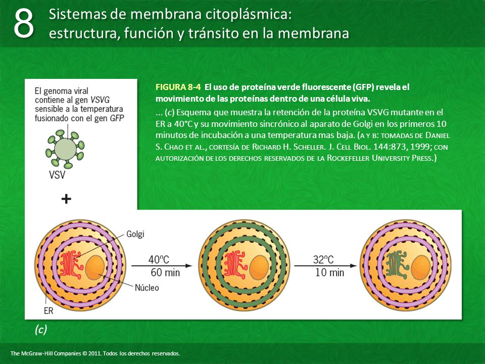 FIGURA 8-4 El uso de proteína verde fluorescente (GFP) revela el movimiento de las proteínas dentro de una célula viva.